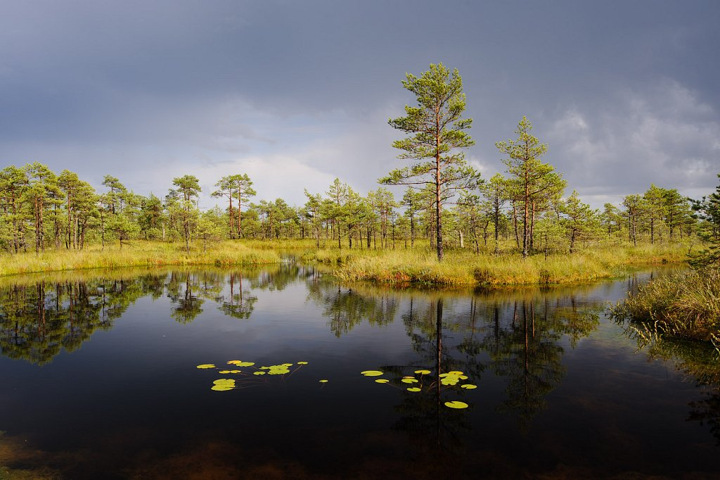 Water lilies in Põdrasoo bog
